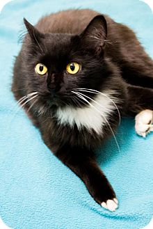 Domestic Mediumhair Cat for adoption in Chicago, Illinois - Kamchatka