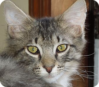 Maine Coon Kitten for adoption in Vero Beach, Florida - River