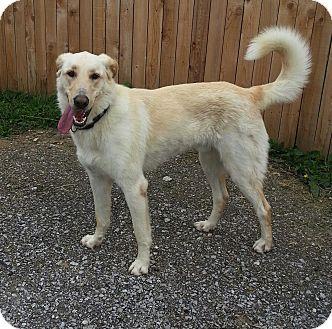 German Shepherd Dog/Golden Retriever Mix Dog for adoption in Indianapolis, Indiana - Hank