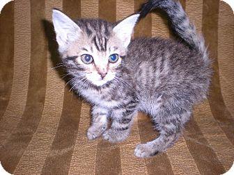 "Domestic Mediumhair Kitten for adoption in New Castle, Pennsylvania - "" Amber """