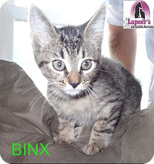 Domestic Shorthair Kitten for adoption in Hadley, Michigan - Binx