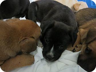 Labrador Retriever Mix Puppy for adoption in Barnegat, New Jersey - Newark