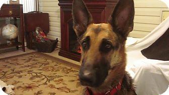 German Shepherd Dog Dog for adoption in Green Cove Springs, Florida - Ellie