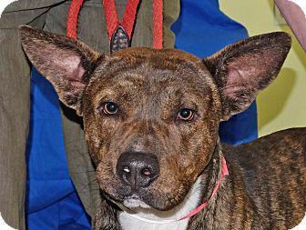 Shepherd (Unknown Type) Mix Dog for adoption in Spokane, Washington - Chico