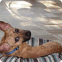 Adopt A Pet :: Emmet - Mount Kisco, NY