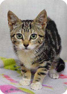 Domestic Shorthair Kitten for adoption in Dublin, California - Colbie