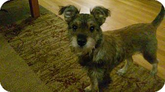Schnauzer (Miniature)/Terrier (Unknown Type, Small) Mix Dog for adoption in Bellingham, Washington - Ellie