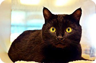 Domestic Shorthair Cat for adoption in Fort Smith, Arkansas - Stevey
