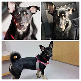 Corgi Mix Dog for adoption in Chalfont, Pennsylvania - Lilly