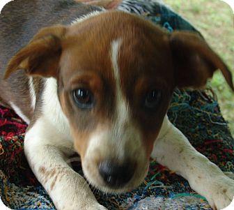 Beagle/Blue Heeler Mix Puppy for adoption in Plainfield, Connecticut - Jennie