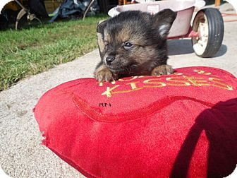 Pomeranian/Chihuahua Mix Puppy for adoption in Oakville, Connecticut - Vodka