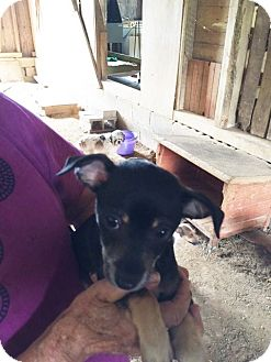 Chihuahua/Dachshund Mix Puppy for adoption in Powder Springs, Georgia - Snickers
