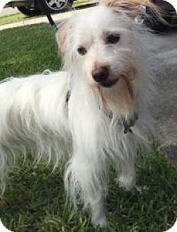 Maltese/Silky Terrier Mix Dog for adoption in Homestead, Florida - Buckey
