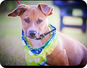 Basset Hound Mix Puppy for adoption in Boca Raton, Florida - Lucky