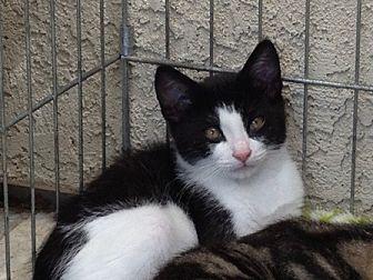 Domestic Shorthair Cat for adoption in Sacramento, California - Mr. Chips