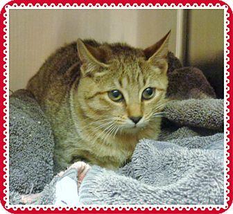 Domestic Shorthair Kitten for adoption in Marietta, Georgia - PRUE(R)available 11/26/16