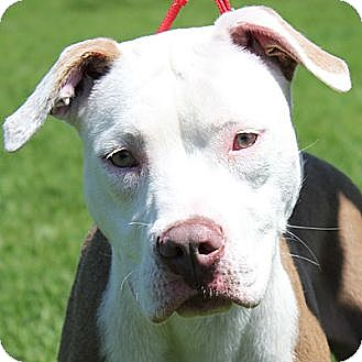 American Staffordshire Terrier Mix Dog for adoption in Huntley, Illinois - Angel