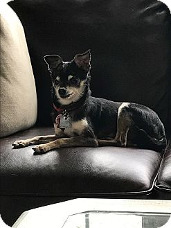 Chihuahua Dog for adoption in Astoria, New York - Basil