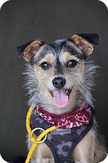 Terrier (Unknown Type, Small) Mix Dog for adoption in Fillmore, California - Cosmo