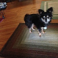 Chihuahua Dog for adoption in Crown Point, Indiana - Bear