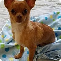 Adopt A Pet :: Chanel - San Diego, CA