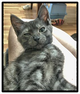 Domestic Shorthair Kitten for adoption in Knoxville, Tennessee - Tarkin