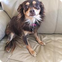 Adopt A Pet :: Pooka - Snyder, TX