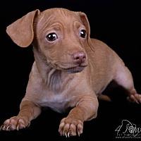 Adopt A Pet :: Reed - Lodi, CA