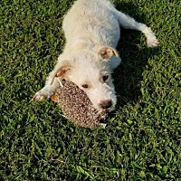 Adopt A Pet :: Laban - Wilmington, DE