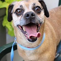 Adopt A Pet :: Cohiba - Colfax, IL