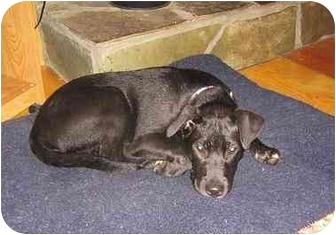 Labrador Retriever Mix Puppy for adoption in Cumming, Georgia - Ronde - sassy pup