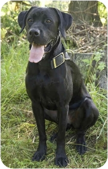 Labrador Retriever/Boxer Mix Dog for adoption in Westfield, New York - Ryan