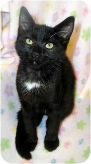 Domestic Shorthair Kitten for adoption in San Diego, California - Bebe