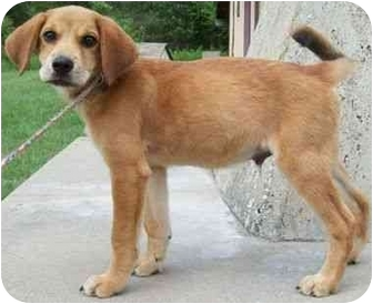 Akita/Hound (Unknown Type) Mix Puppy for adoption in North Judson, Indiana - Earl