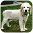 Photo 1 - Cocker Spaniel Dog for adoption in Osseo, Minnesota - Milo