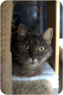 Domestic Shorthair Cat for adoption in New Port Richey, Florida - Desiree