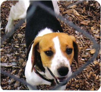 Beagle Mix Dog for adoption in Little River, South Carolina - Kascy