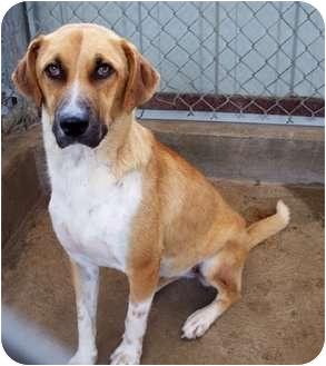 Retriever (Unknown Type)/Hound (Unknown Type) Mix Dog for adoption in Sullivan, Missouri - July