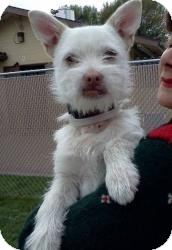 Westie, West Highland White Terrier/Terrier (Unknown Type, Small) Mix Dog for adoption in Encino, California - Doogie