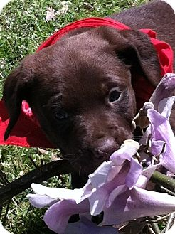 Labrador Retriever Mix Puppy for adoption in Somers, Connecticut - Maggie