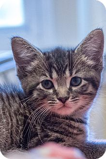 Domestic Shorthair Kitten for adoption in Chicago, Illinois - Pixie