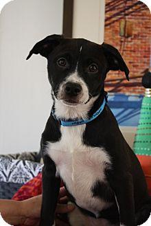 Labrador Retriever/Basenji Mix Puppy for adoption in Chattanooga, Tennessee - Sabrina