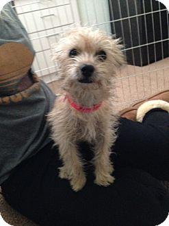 Cairn Terrier Mix Dog for adoption in Van Nuys, California - Blondie