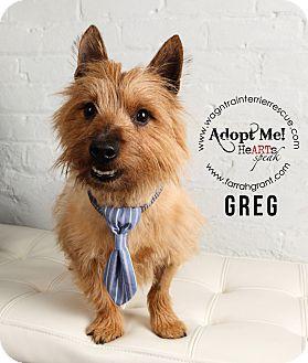 Cairn Terrier Dog for adoption in Omaha, Nebraska - Greg