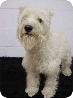 Westie, West Highland White Terrier Mix Dog for adoption in Westfield, New York - Wellington James