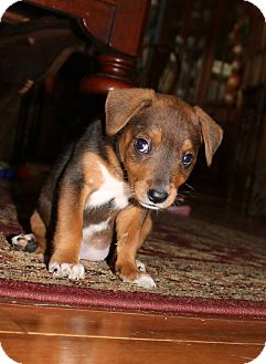 Beagle/Feist Mix Puppy for adoption in Buffalo, New York - Beagle Pup Female 1 (Sadie)