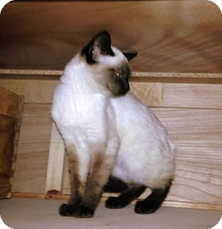 Siamese Cat for adoption in Huntsville, Alabama - Marley