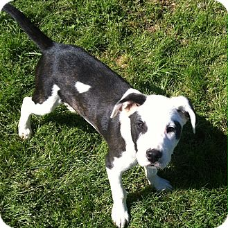 Pit Bull Terrier Mix Puppy for adoption in Hagerstown, Maryland - Caster
