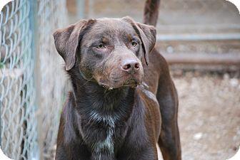 Doberman Pinscher/Labrador Retriever Mix Dog for adoption in Cleveland, Oklahoma - Cowboy-$50