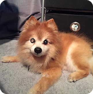 Pomeranian Dog for adoption in Norman, Oklahoma - Stormy